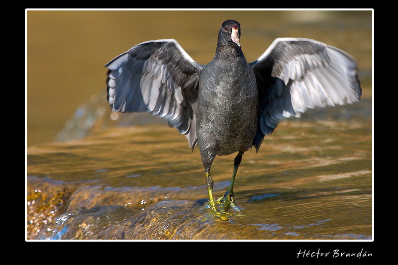 six weeks young american coot author brandan hect hector