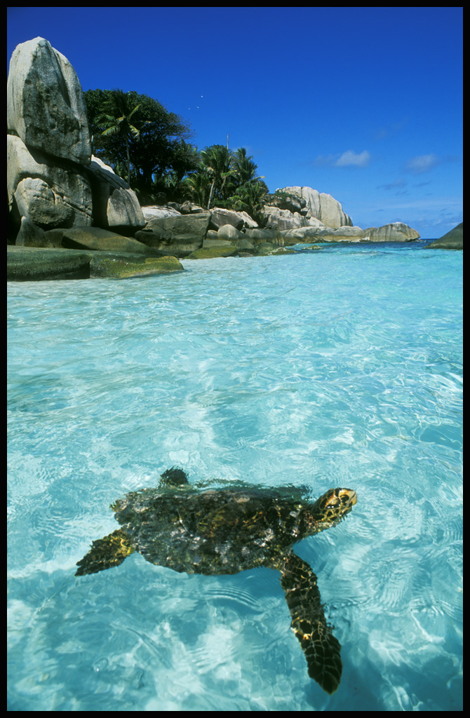 hawksbill turtle coco island author h michael