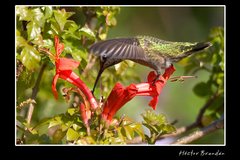 hummingbird selasphorus hummers author brandan he hector