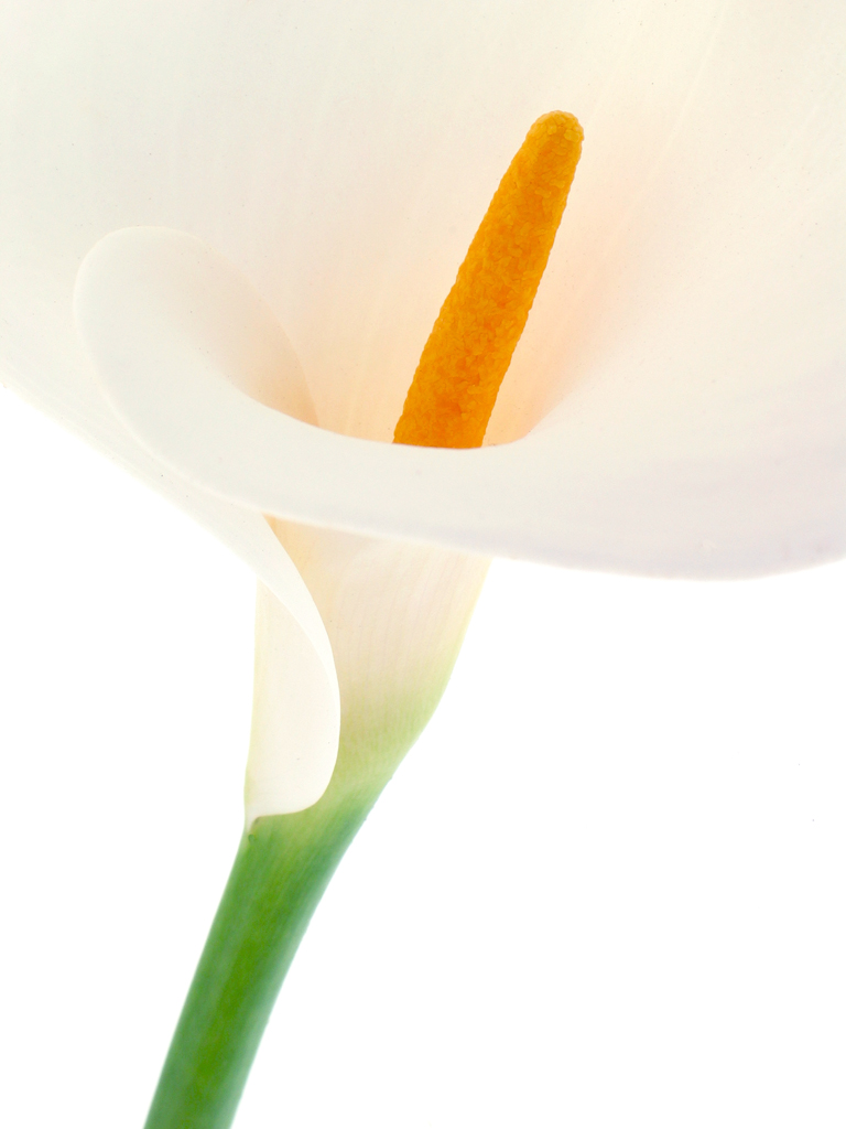 calla lily author chepikian paul