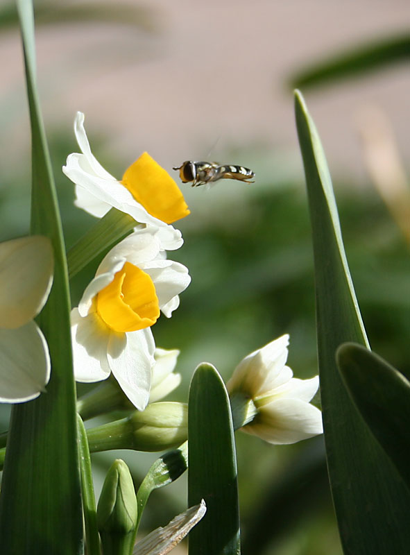 narcissus and bee author bedram morteza