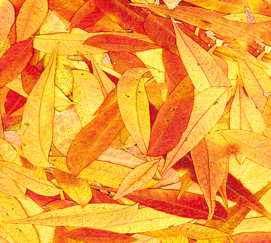i will often collect leaves let them dry and scan chepikian paul