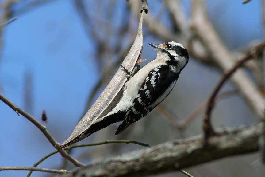 downy woodpecker author szulecki joshua