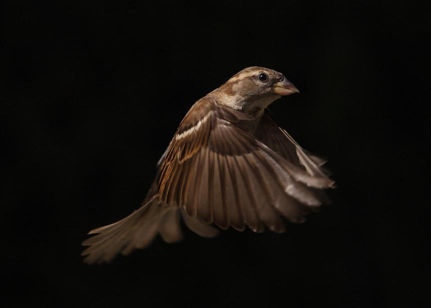 house sparrow in flight author chien charles