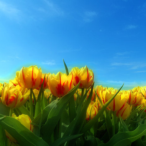 everything you ve wanted to know about tulips but vanourkova jana
