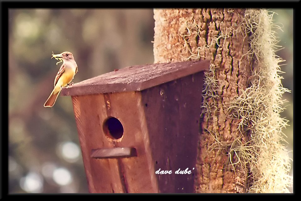 great crested flycatcher author dube dave