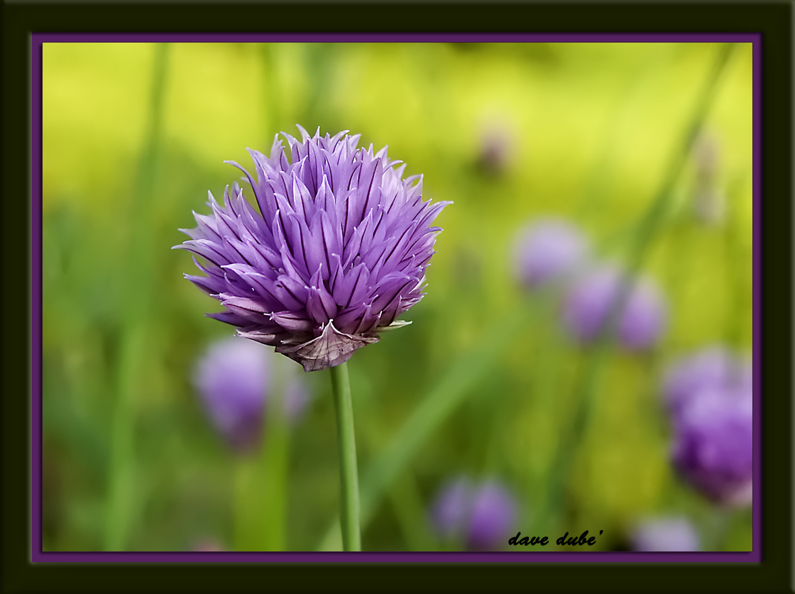 spring chive in bloom author dube dave