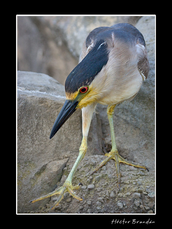black crowned night heron nycticorax author brand brandan hector