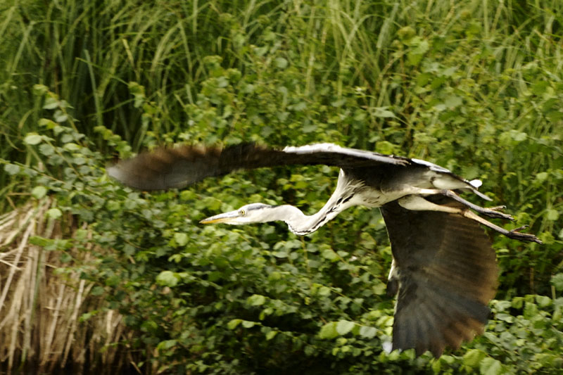 heron in nature author dupin eric