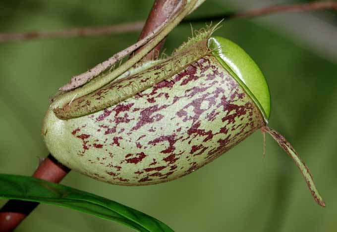 borneo pitcher plant author downs jim