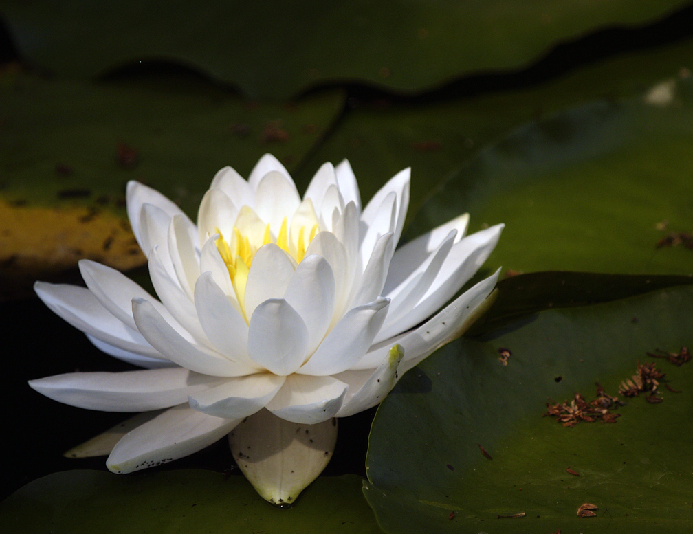 water lily author hull ray