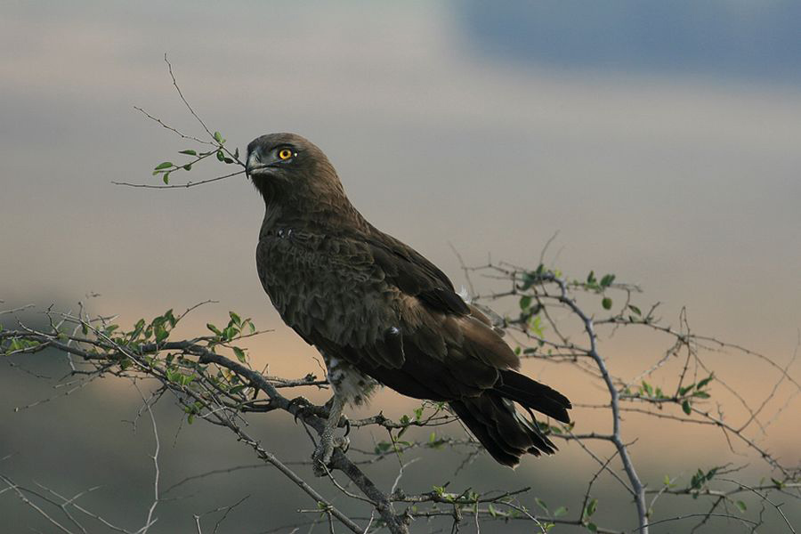 short toed eagle male author shpirer yoram