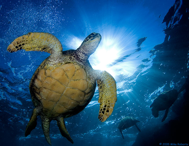 honu in the sun author roberts mike