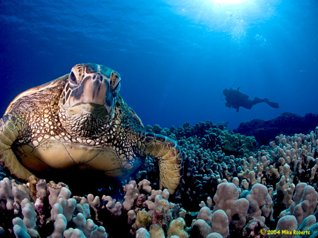 honu and diver author roberts mike