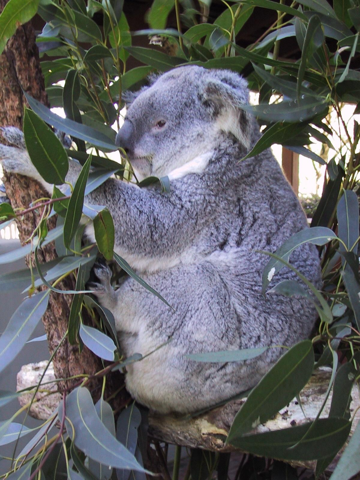 koala at the zoo in sydney author greenspun phil philip