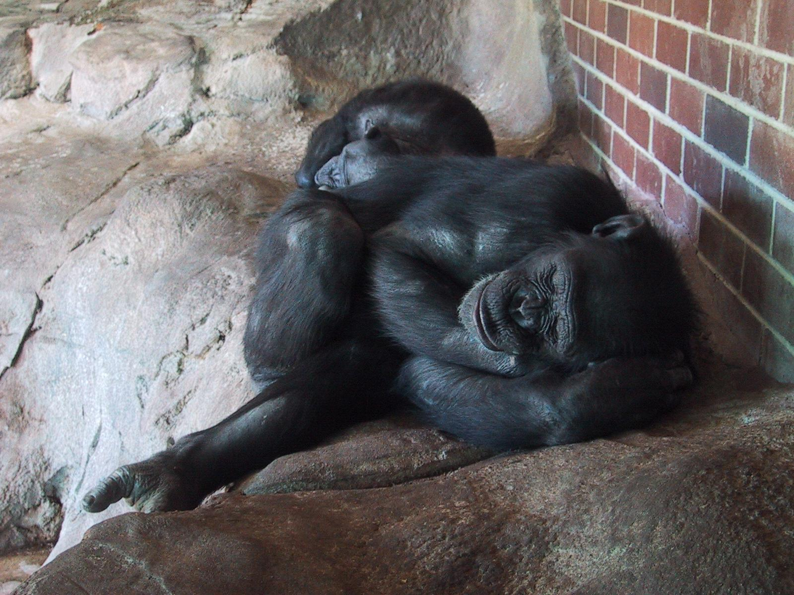 sleeping apes at the zoo in sydney future arsdigit greenspun philip