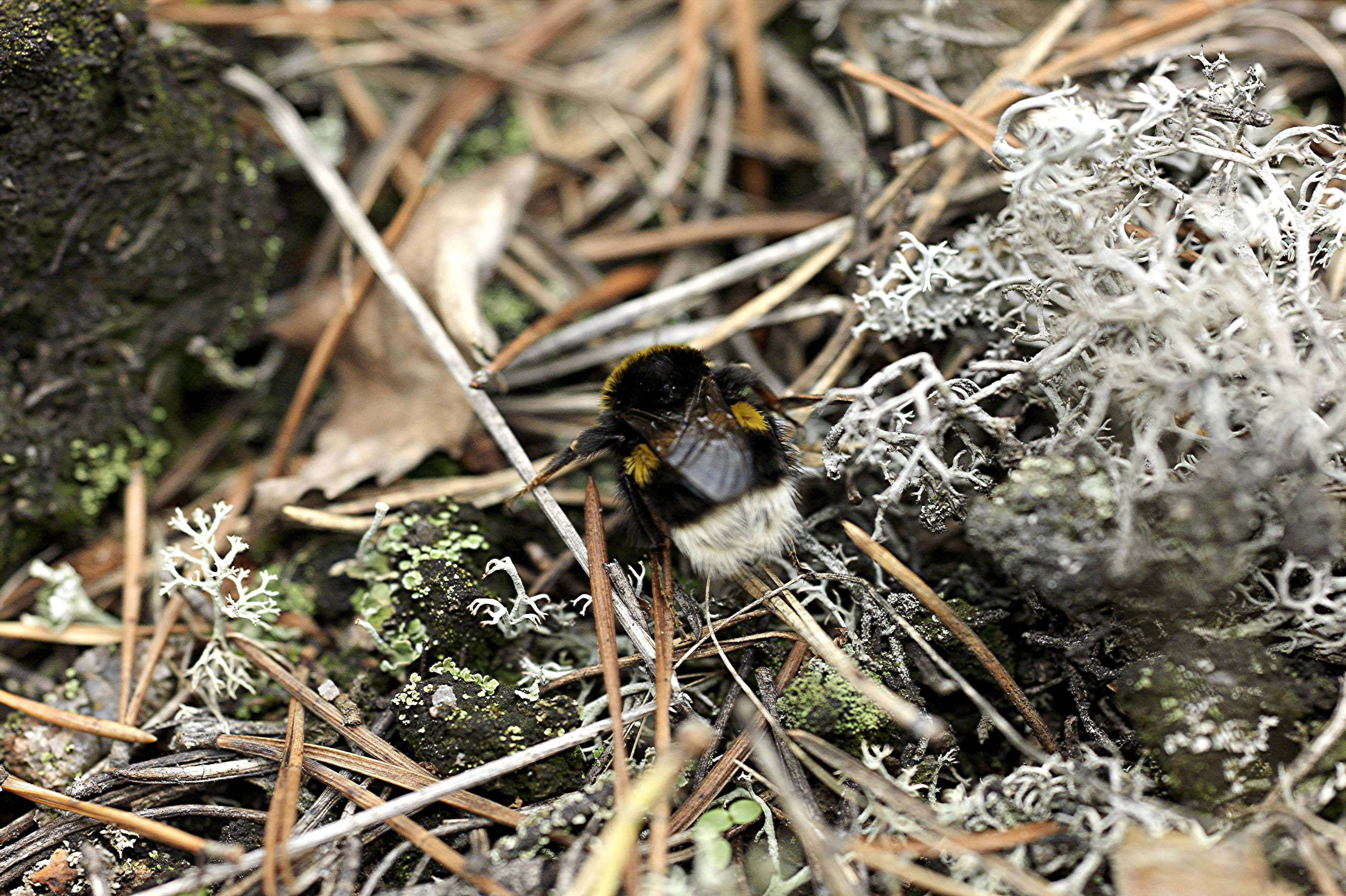 bumblebee preparing for the winter view larger soini hannu