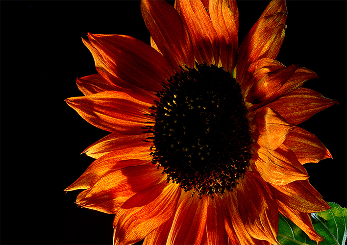 late sunflower author sava gregory and verena
