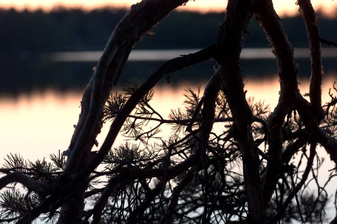 pinetree after sunset author soini hannu