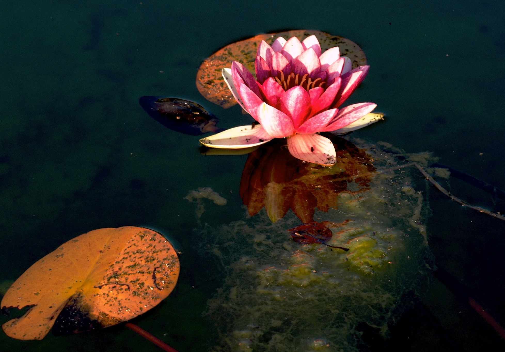 waterlily reflection view larger author soini han hannu