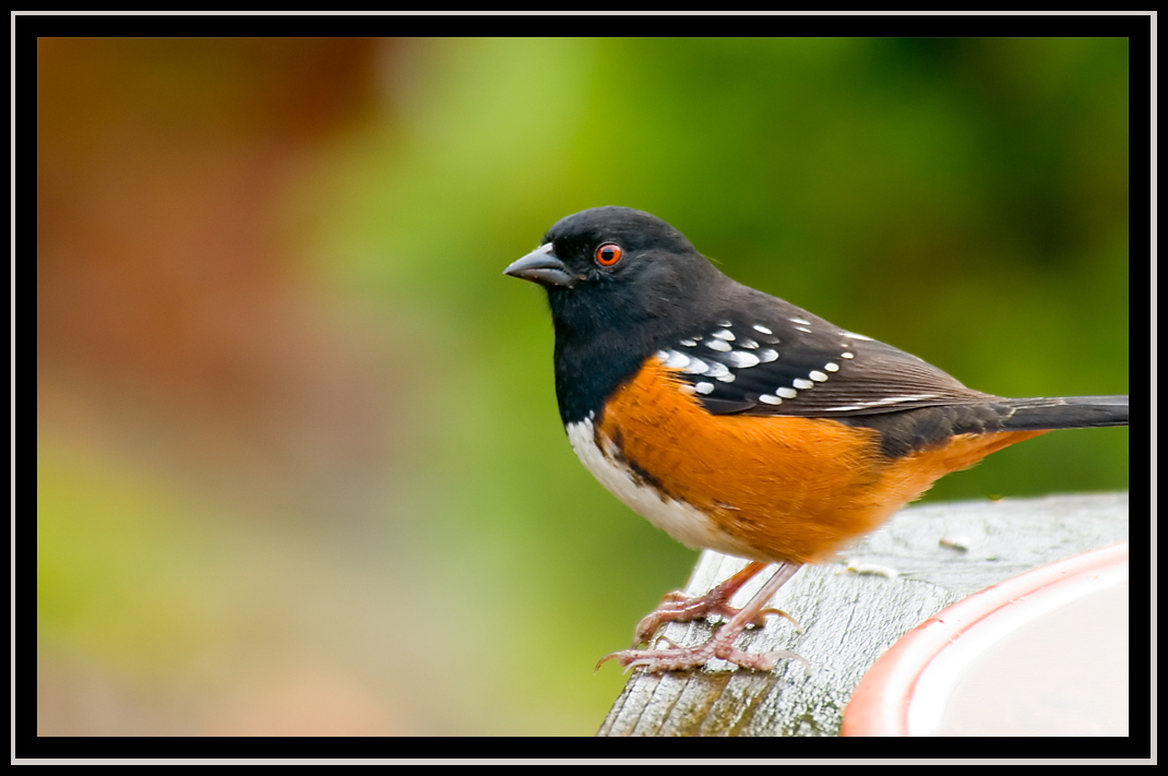 rufous sided towhee author dube dave