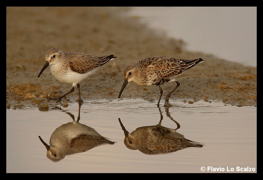 calidris alpina dunlin author lo scalzo flavio