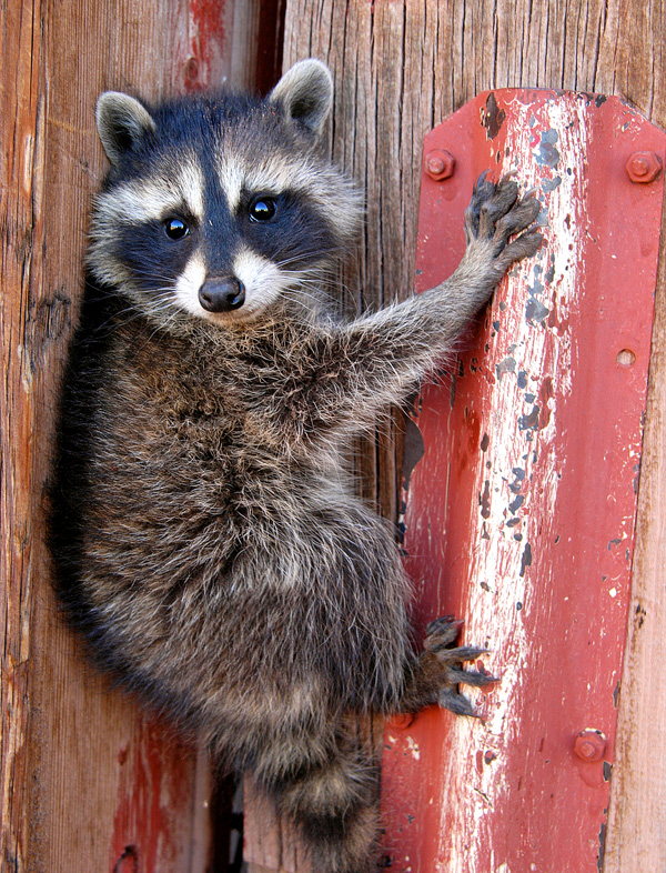 racoon hanging around author gricoskie jared