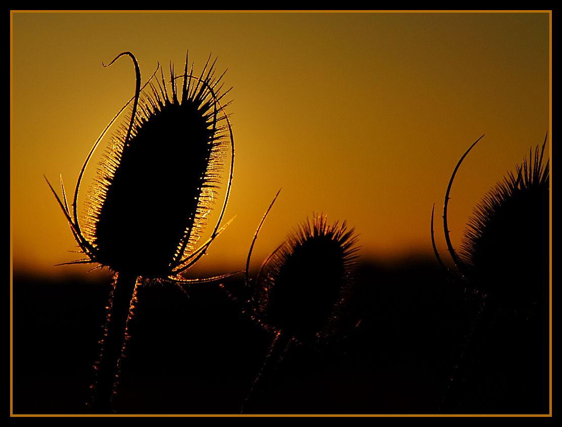 thistle trio at sunset author dube dave