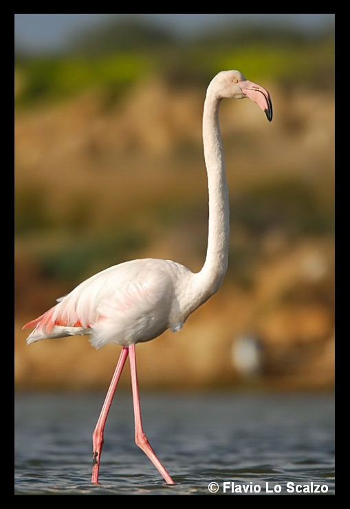 phoenicopterus roseus greater flamingo author lo scalzo flavio