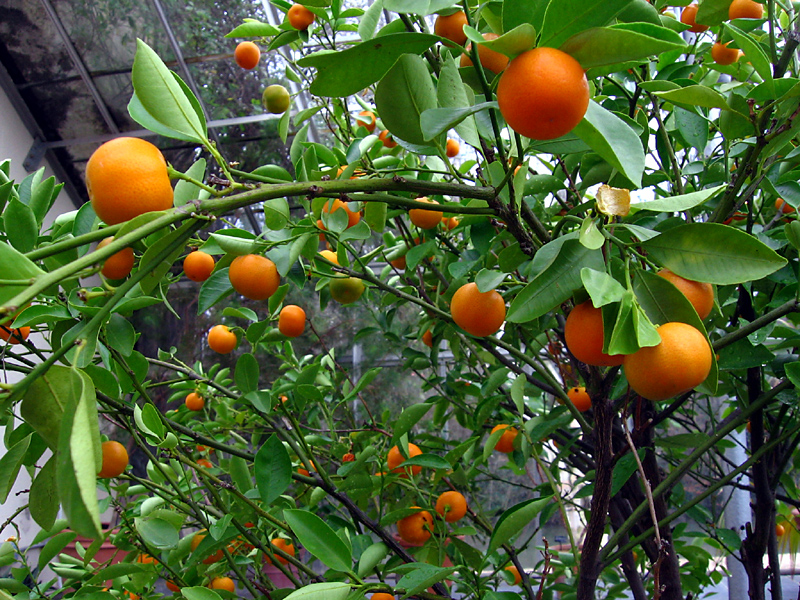 oranges in the botanical gardens author ilnyckyj milan