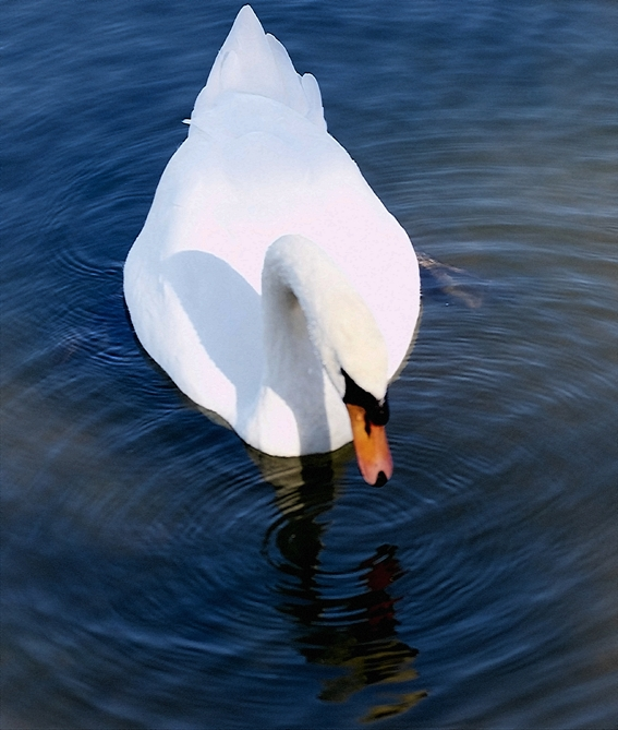 swan looking the mirror image author soini hannu
