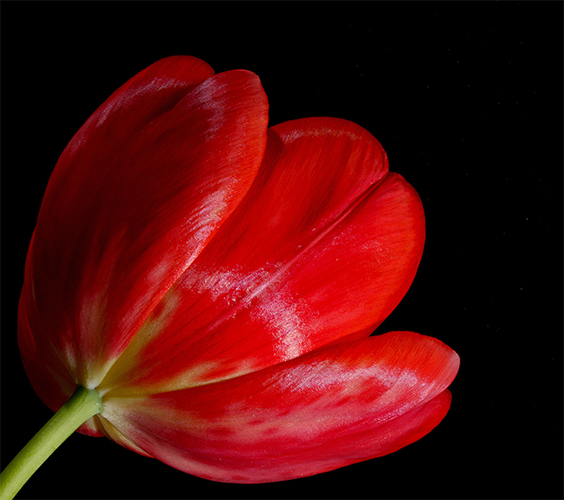 red tulip author sava gregory and verena