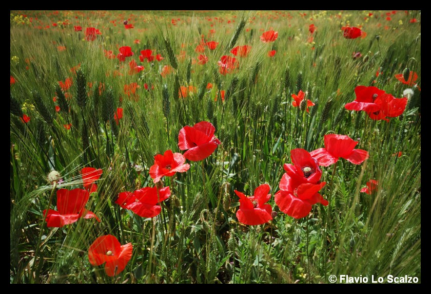 wheat field with poppies author lo scalzo flavio