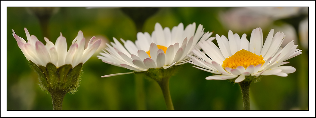 total width of the flowers is inches author dube dave
