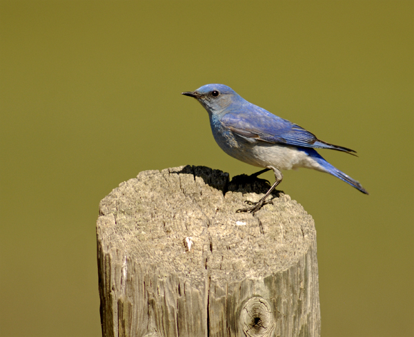 mountain bluebird male author gricoskie jared
