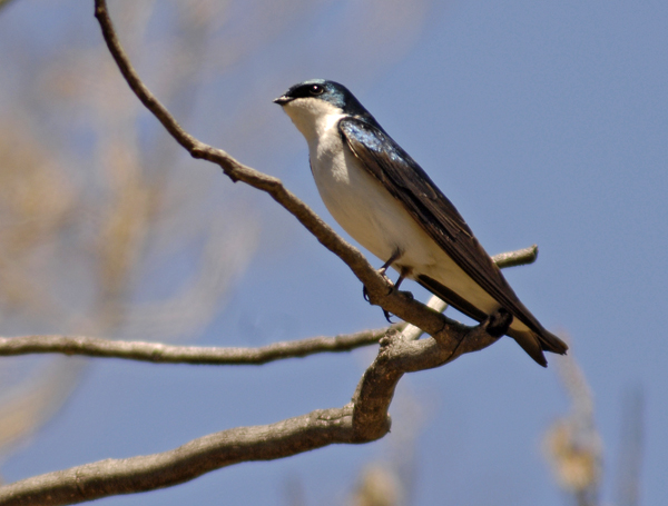 tree swallow author gricoskie jared