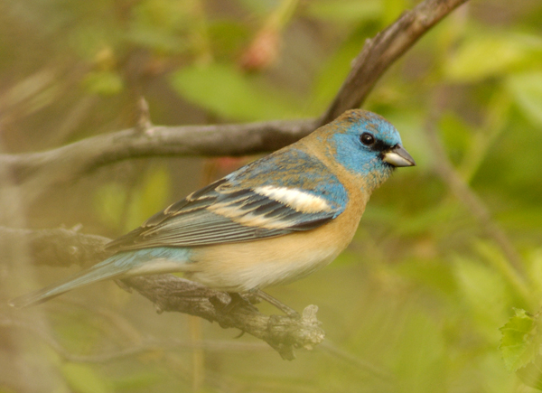 lazuli bunting molting male author gricoskie jare jared