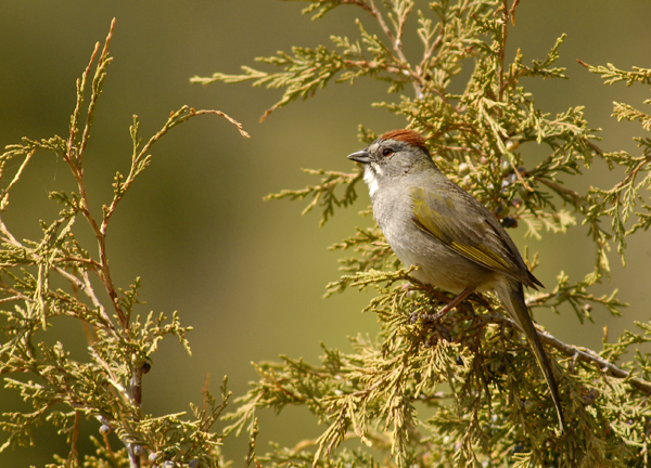 green tailed towhee author gricoskie jared