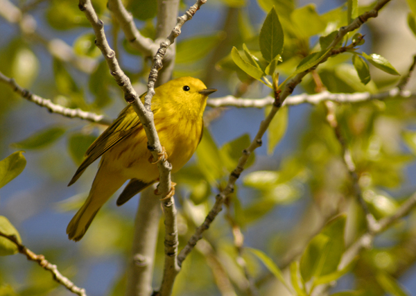 yellow warbler author gricoskie jared