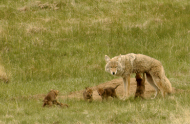 coyote and pups print not available but aren t the gricoskie jared