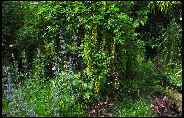 weeping golden chain tree and catmint author patt patterson steve