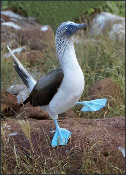 blue footed boobie ritual mating dance author dow downs jim