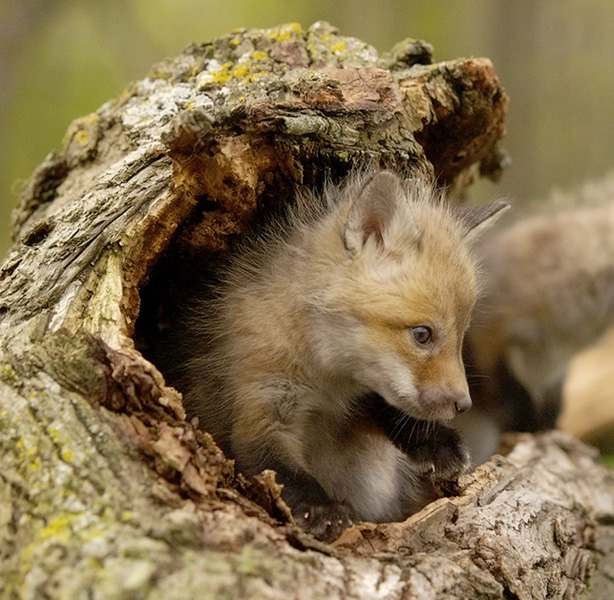 red fox kit author wilbrecht jon