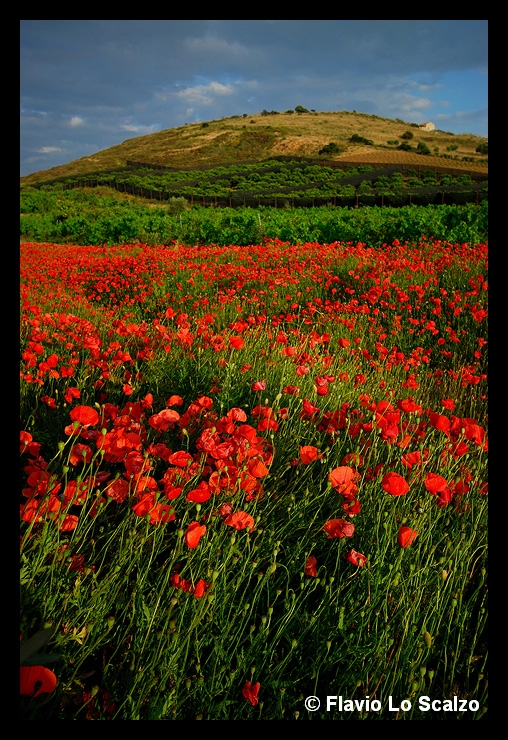 landscape with poppies sicily author lo scalzo fl flavio