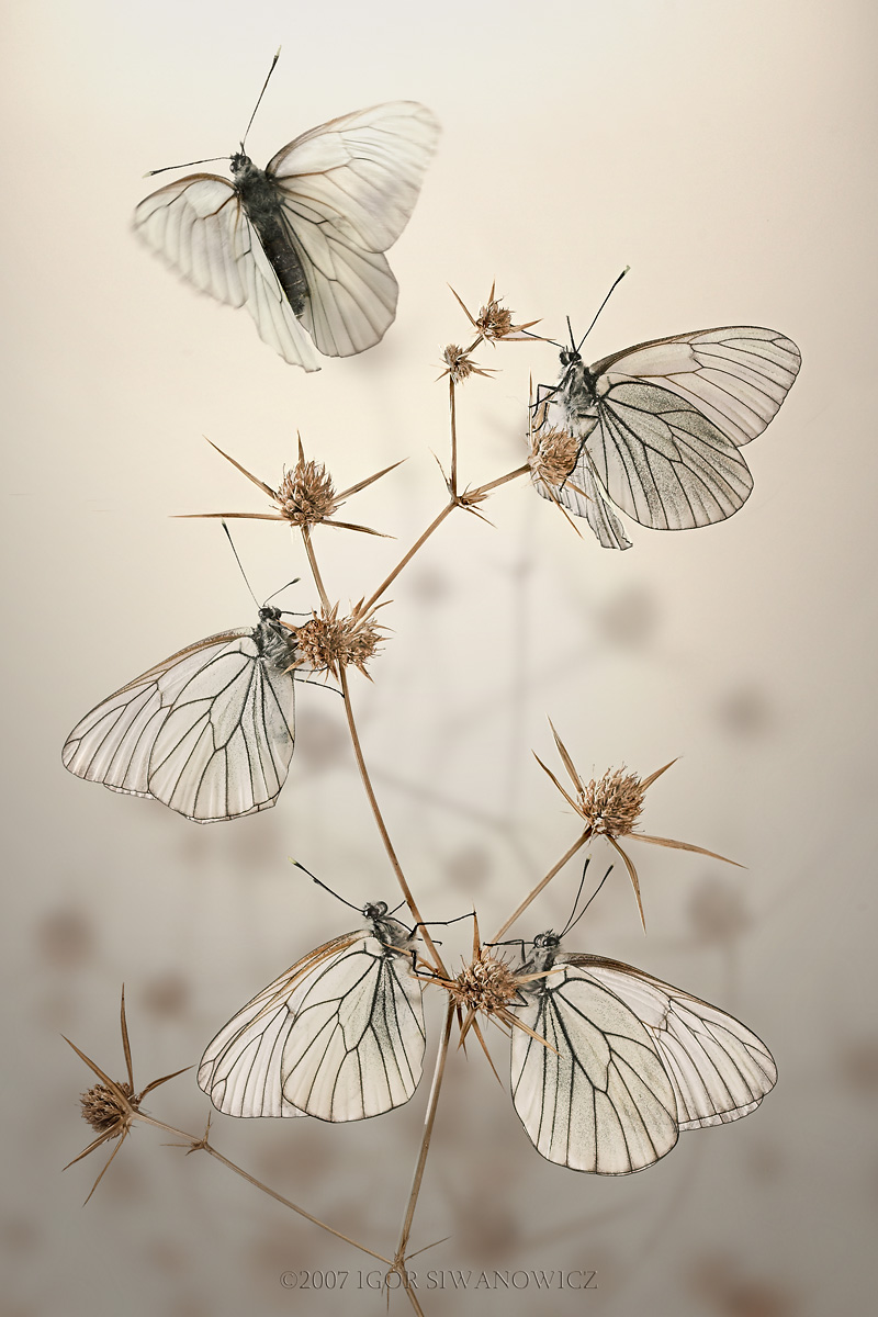 aporia crataegi black veined white author siwan siwanowicz igor