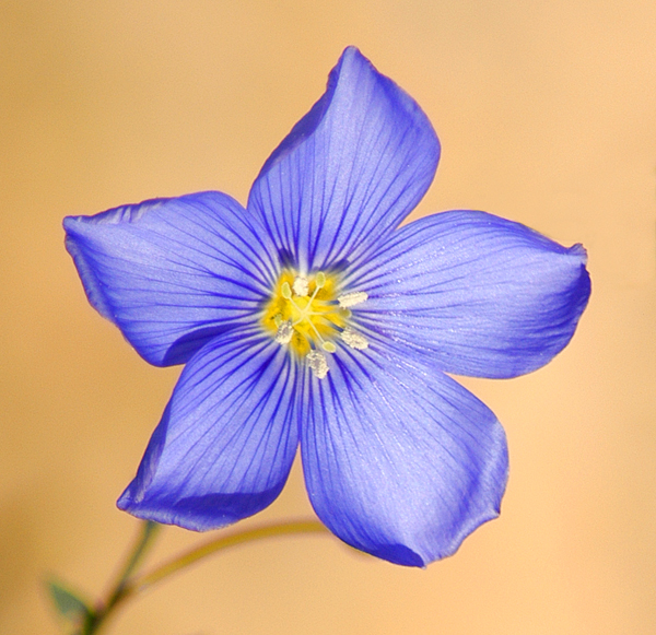 common blue flax author gricoskie jared