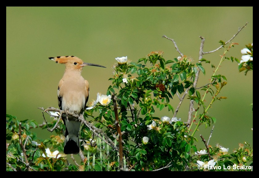 upupa epops hoopoe author lo scalzo flavio