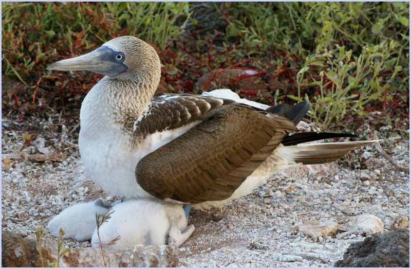 blue footed boobie nurturing her twins author dow downs jim
