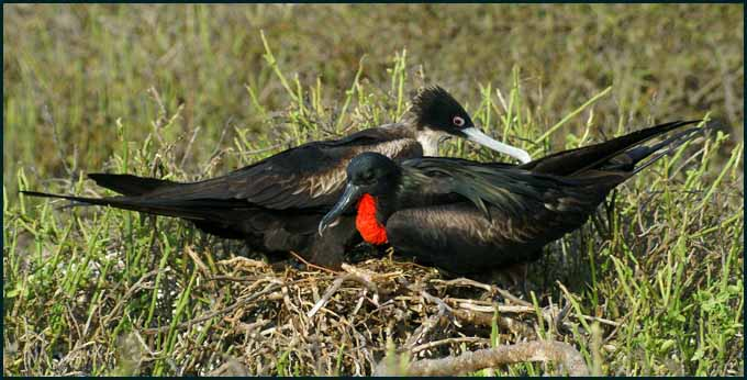 nesting frigatebirds author downs jim