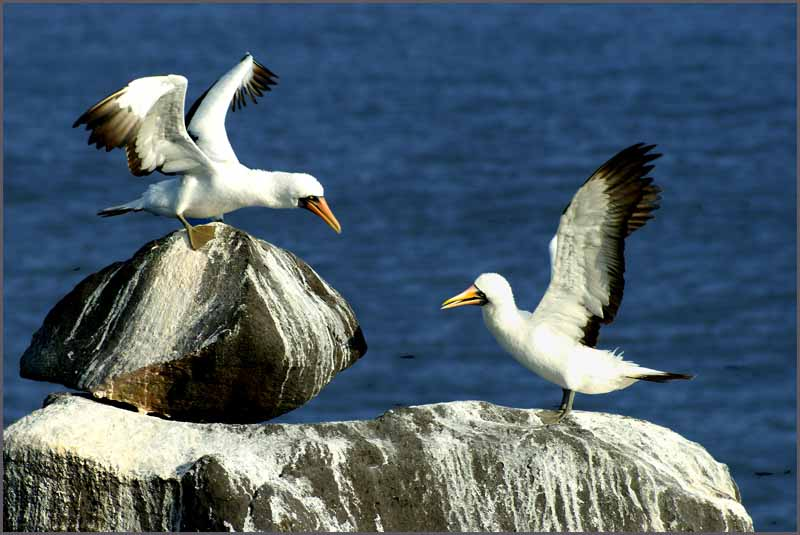albatross chicks play on guano covered boulders downs jim